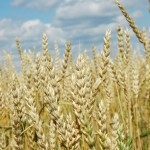 Photo credit: M. DeFreese/CIMMYT.